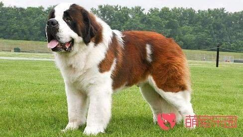 盘点排名前五的大型犬